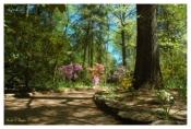 Morning Light On Azalea Path - Sayen Gardens, NJ