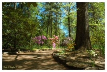 Morning Light On Azalea Path - Sayen Gardens, NJ