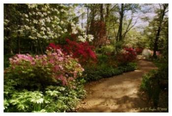 Morning Azalea Path - Sayen Gardens, NJ