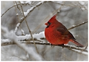 Cardinal in Winter - Note / Holiday Card